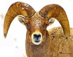 SEE MY PEARLY WHITES (Aspenbreeze) Tags: ram bighornsheep bighornram ramhorns winter wildlife wildanimal nature rural wyomingwildlife coloradowildlife ramportrait snow bevzuerlein aspenbreeze moonandbackphotography