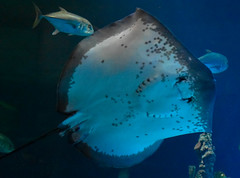 Ray (littlestschnauzer) Tags: hull deep fish ray aquarium swimming underwater tourist attraction 2016 visit nature underneath underside tuna yellow fin