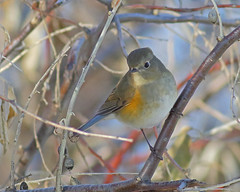 Red-flanked Bluetail (Keith Carlson) Tags: redflankedbluetail tarsiger cyanurus tarsigercyanurus