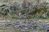 Serval, Felis serval (paolo.gislimberti) Tags: animali animals mammiferi mammals predatori raptors carnivori flesheatinganimals felini felins etiopia ethiopia
