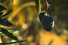 PH02030F1-ex (ILO DESIGNS) Tags: árbol aceituna acercamiento color flora invierno macro naturaleza oliva olivar olivo olives trees closeup sunlight nature mediterranean spain sevilla