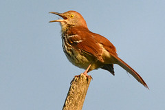 Brown Thrasher has a new song (NaturalLight) Tags: brownthrasher thrasher singing chisholmcreekpark wichita kansas