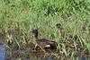 Chestnut Teals, Male and Female   @Birrarung Park, Lower Templestowe, Melbourne (natalia.bird_nerd) Tags: bird wetlandbirds ducks teals chestnutteals birrarungpark lowertemplestowe melbourne australia
