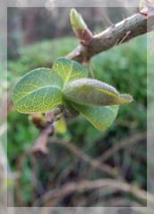 Signs of Spring 25 01 2017 (foggyray90) Tags: honeysuckle wildrose january signsofspring macro plantdefense
