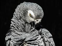 AFRICAN GREY PARROT (robertodestaracphoto) Tags: africangreyparrot grey parrot feathers texture travel love color african eye