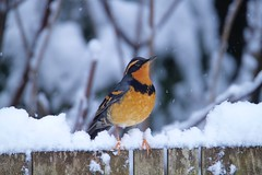 Varied Thrush (jerrygabby1) Tags: