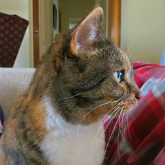 The Many Faces of Gracie #3 (19 January 2017) 3259Rif sq2 (edgarandron - Busy!) Tags: gracie patchedtabby cat cats kitty kitties tabby tabbies cute feline