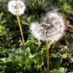(Make a wish) #dandelion #wish #nature #plants (Marilyn Ordorica Photography) Tags: dandelion wish nature plants