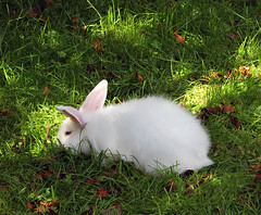 0505 Weisses Kaninchen. White rabbit. (Fotomouse) Tags: fotomouse margrit flickr tiere tier animals animal natur nature weiss white hase kaninchen gras grün sonnenstrahlen rabbit outdoor draussen