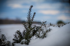 Things Still to Be Done (1 of 1) (amndcook) Tags: depthoffield farm michigan outdoors tree amandacook bokeh field nature photo photograph pine season snow snowflake spiritledphotography winter