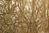 Parrots (Natali Antonovich) Tags: birds aparrot parrot nature belgium tervuren