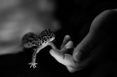soft light (aqugacosmo) Tags: pentax smcpentax50mmf14 k5 k5iis k5ⅱs oldlens vintagelens primelens leopardgecko gecko reptiles highyellow japan ペンタックス オールドレンズ 単焦点 爬虫類 レオパ ハイイエロー レオパードゲッコー ヒョウモントカゲモドキ