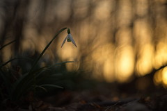 Sunset Snowdrop (Stefan Zwi.) Tags: sun sonne blume flower wild wildblume f28 sony a7 ilce7 emount farbe flora closeup macro nature background sunset light bokeh pentacon 50mm snowdrop schneeglöckchen frühling spring ngc npc