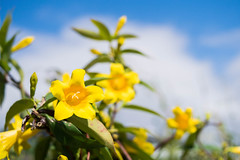 Carolina Jessamine (SouthwoodTulsaOK) Tags: carolina jessamine yellow vine sky