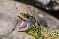 03-51424 (fix.68) Tags: lézardvert reptile