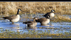 Greater White-fronted Goose Find (ctofcsco) Tags: 11250 7d 7dclassic 7dmark1 7dmarki 80 800mm birds canadageese canadagoose canon colorado coloradosprings ef400mmf28liiusm ef400mmf28liiusm20x eos7d 2017 alamosa cranes explore explored geo:lat=3745997671 geo:lon=10614014486 geotagged image landscape migration montevista montevistanwr nationalwildliferefuge nature northamerica photo photograph pic picture pretty renown sanluisvalley sandhillcrane sandhillcranefestival spring wildlife wwwmvcranefestorg zinzer extender extender2x extender2xii geese greaterwhitefrontedgoose supertelephoto teleconverter telephoto unitedstates usa anser ansersp