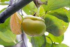 Ebenaceae: Diospyros sp. 2b (K. Zyskowski and Y. Bereshpolova) Tags: ebenaceae diospyros persimmon fruit china