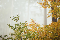 a little autumn memory (desomnis) Tags: autumn autumnal autumncolors nature naturephotography colorful colors colourful colour bokeh forest wood woods woodland desomnis canon6d 6d canon135mmf20 135mm fog mist misty foggy foggyatmosphere foggymood