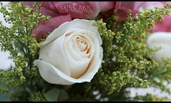 roses (miss.abr) Tags: rose flowers photo photography canon d550 focus white roses تصويري كانون natural