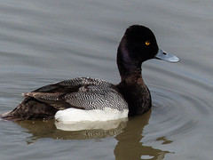 Lesser Scaup / Aythya affinis (annkelliott) Tags: canada male calgary bird nature water swimming lumix duck spring pond adult outdoor alberta migratory drake waterfowl sideview ornithology avian lesserscaup wetland excellence migrant aythyaaffinis aquaticbird familyanatidae annkelliott avianexcellence anneelliott swcalgary fz200 smalldivingduck panasonicdmcfz200 subfamilyaythyinae 17may2015