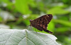 Dorantes Longtail (Jenn Sinasac) Tags: butterfly skipper lepidoptera panama longtail hesperiidae urbanus pipelineroad soberanianationalpark doranteslongtail urbanusdorantes