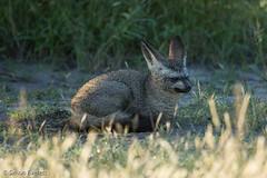 Bat-eared fox (Simon.Everett) Tags: safari botswana batearedfox chitabe