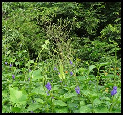 Wildflowers @  Maharashtra Nature Park (Indianature14) Tags: india nature forest october bombay maharashtra wildflowers mumbai wildflower 2015 cityforest wildflora mmrda indianature mahimnaturepark maharashtranaturepark monsoonflora mumbaiforest