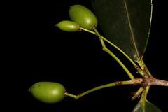 Elaeodendron australe var. australe (andreas lambrianides) Tags: plum blush boxwood australiannativeplant celastraceae australianrainforest australianrainforestplants australianrainforesttrees cassineaustralis redoliveberry redfruitedoliveplum nswrfp qrfp arffs elaeodendronaustrale elaeodendronaustralevaraustrale greenarffs littoralarf subtropicalarf dryarf redolive blushboxwood redfruitedolive cassineintegrifolia portenschlagiaaustralis portenschlagiaintegrifolia