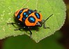 Shield-backed Jewel Bug (Poecilocoris druraei, Scutelleridae) (John Horstman (itchydogimages, SINOBUG)) Tags: insect macro china yunnan itchydogimages sinobug bug shield shieldbacked jewel hemiptera scutelleridae topf25 top orange blue colour true tumblr topf50