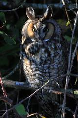 Long-eared owl..... (Paridae) Tags: tsawwassen owl birdsofprey longearedowl afewofmyfavouritethings thingswithwings asiootus boundarybayregionalpark familystrigidae birdsofbritishcolumbia canoneos7d birdsofboundarybay