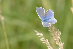 DSC_1062 Icarusblauwtje,Polyommatus icarus Common Blue Argus bleu Hauhechelbläuling