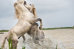 Camargue stallions fighting close up (koalie) Tags: horse water animal droplets marshland camargue lescabanesdecacharel