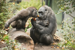 2015-11-05-10h44m33.BL7R9232 (A.J. Haverkamp) Tags: amsterdam zoo gorilla thenetherlands artis dierentuin shindy canonef70200mmf28lisusmlens douli httpwwwartisnl dob03061985 pobamsterdamthenetherlands pobrotterdamthenetherlands dob27022012