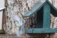 Msange bleue_151128_DDO (f.chabardes) Tags: france novembre oiseaux faune arige 2015 midipyrnes 4t cyanistescaeruleus msangebleue neoaves mazres eurasianbluetit zoneshumides espacenaturel passriformes parids domainedesoiseaux zoneaug apafftpalissade