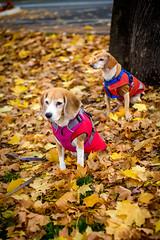 Fall creatures (melekzek) Tags: max beagle dogs maya ef50mmf14 chiweenie canoneos5dmkiii