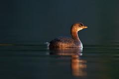 Setting grebe (Adam Wang) Tags: sunset lake reflection bird nature sunshine contrast grebe piedbilled