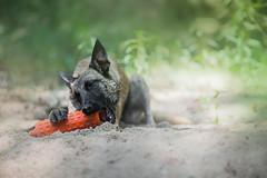 Evey (Soul Dog Studios) Tags: dog texas shepherd belgian malinois