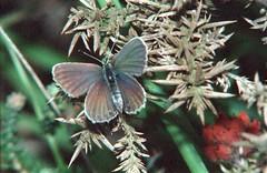 1986_63_28 (Clive Webber) Tags: lycaenidae plebejusargus silverstuddedblue