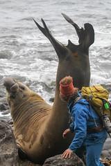 ChrisTaylor_10142015_IMG_2511 (Nomadic Chris) Tags: elephantseal goughisland jan