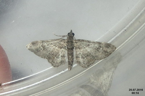 Double-striped pug (sw)