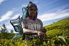Tea pickers (danielmaissan_photography) Tags: tea leicammountlenses leicam240 transcontinenta srilanka nuwaraeliya teapickers travel wanderlust teafields