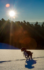 Eager (mripp) Tags: dog animal animals tiere outside natural nature landscape landschaft bavaria bayern m9 leica summilux 50mm sun sunny weather snow scheme winter cold frozen playing spiel