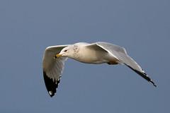 Ring-billed Gull (brian.bemmels) Tags: ringbilled gull ringbilledgull inflight westdyke richmond bc larus delawarensis larusdelawarensis