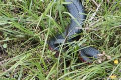 SLN_4314 (sonja.newcombe) Tags: snake redbelliedblacksnake australia wildlife snek