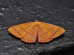 Eumelea rosalia, Geometridae Desmobathrinae (Green Baron Pro) Tags: malaysia 200902 200903 moth frasershill brinchang geometridae desmobathrinae