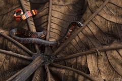 Black ground snake (Atractus elaps) (ggallice) Tags: blackgroundsnake coral snake mimic atractuselaps colubridae dipsadinae yanayacu yanayacubiologicalstation napo ecuador southamerica cloudforest rainforest andes wildlife