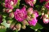 Flammendes Käthchen - Kalanchoe blossfeldiana (Gartenzauber) Tags: floralfantasy doublefantasy photopassion
