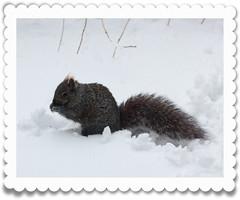 Grey Squirrel (CCphotoworks) Tags: squirrel wildlife winter snow furry grey fluffy cute december greysquirrel animals