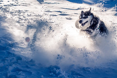 Denzel the Malamute (Wolfhowl) Tags: carpathians fun alaskanmalamute puppy ukraine cute kawaii драгобрат dog denzel snow україна карпати dragobrat malamute