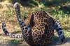 gymnastics (rondoudou87) Tags: léopard leopard panthère panther panthera pentax parc zoo reynou k1 pelage wildlife wild sauvage smcpda300mmf40edifsdm bokeh nature natur